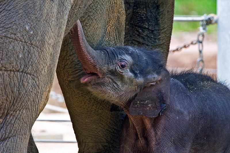 О слонах