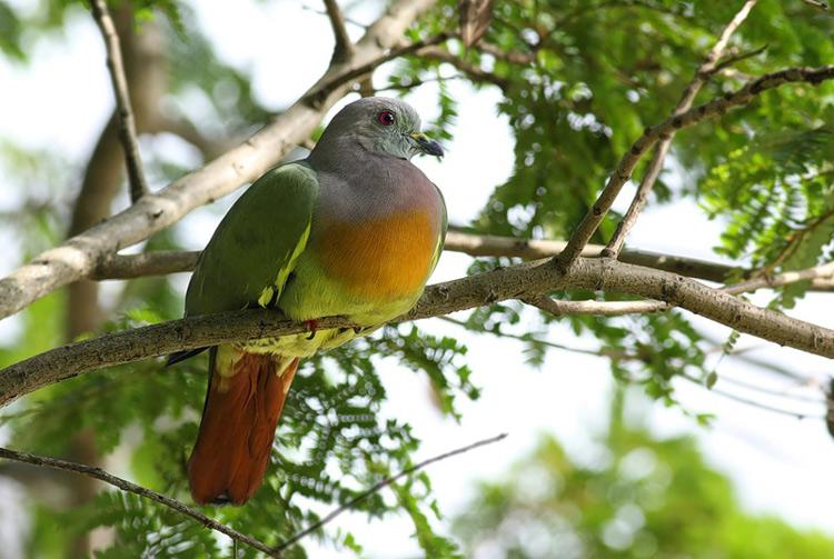 Зелёные голуби