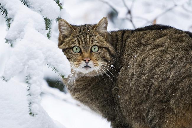 Фото лесного дикого кота
