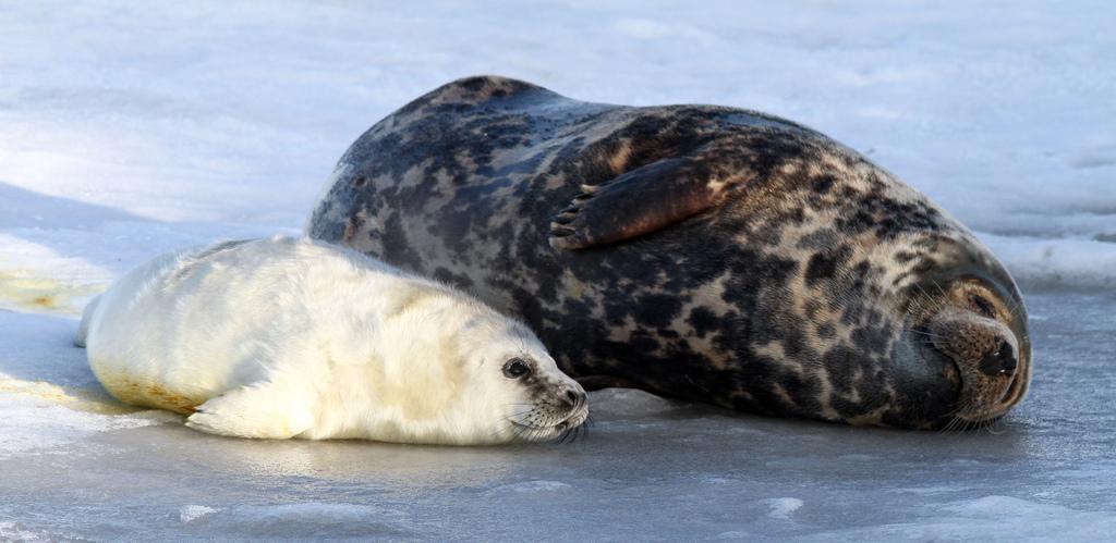 Обыкновенный тюлень  Википедия