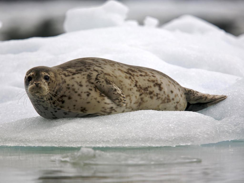 Как нарисовать тюленя Спасение тюленей 699 Рисование