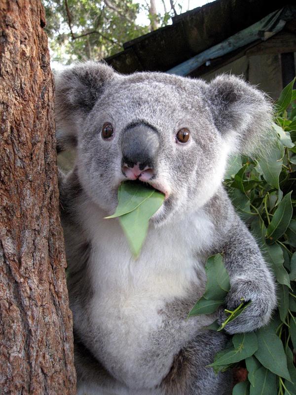 Картинки по запросу фото коала