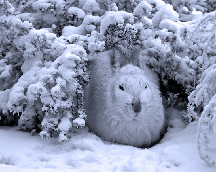 Картинки t зимуют зайцы