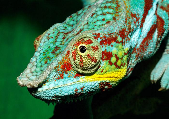 http://www.animalsglobe.ru/wp-content/uploads/2012/02/%D1%85%D0%B0%D0%BC%D0%B5%D0%BB%D0%B5%D0%BE%D0%BD-1.jpg