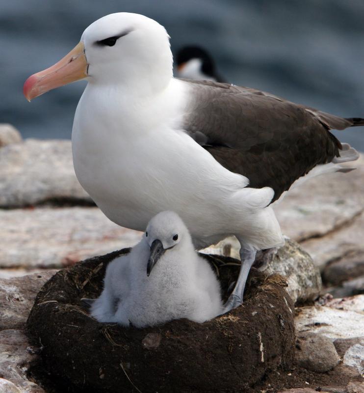 http://www.animalsglobe.ru/wp-content/uploads/2012/02/albatros-12.jpg