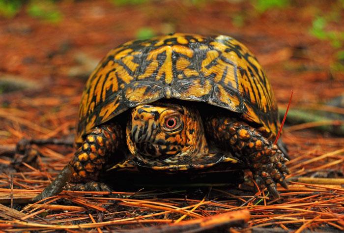 Каролинская коробчатая черепаха (Terrapene carolina).