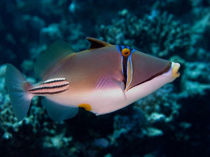 Колючий ринекант (Rhinecanthus aculeatus) иногда называют рыбой Пикассо за геометрическую расцветку.