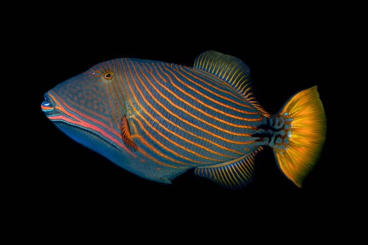 Оранжевополосый спинорог, или оранжевополосый балистап (Balistapus undulatus).