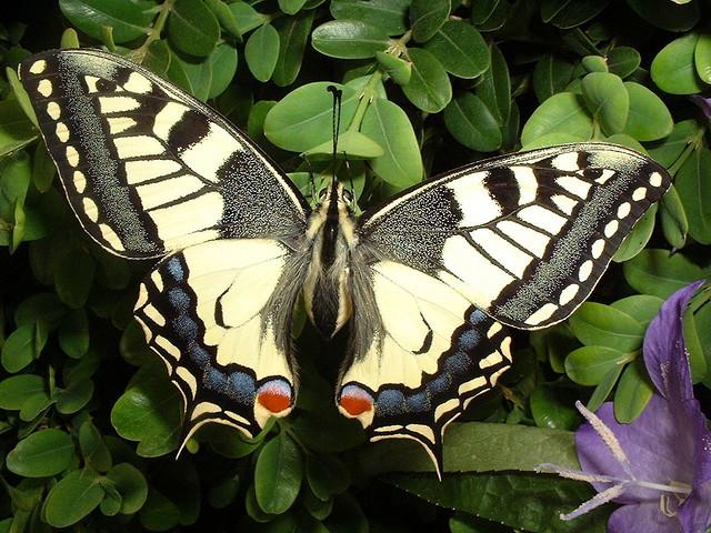 18 окт 2017. Ученый из новосибирска обнаружил новый вид бабочки в большехехцирском заповеднике (фото). Например, одной из самых красивых бабочек энтомолог считает парусник маака, которую в народе называют махаон. — махаон имеет желтый окрас — это другой вид чешуекрылых.