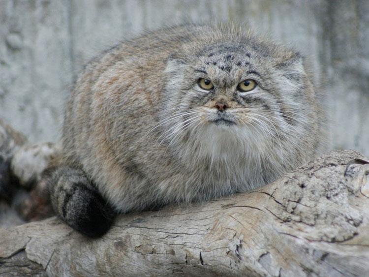 http://www.animalsglobe.ru/wp-content/uploads/2012/04/manul-11.jpg