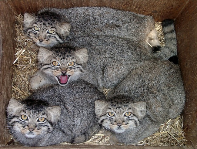 http://www.animalsglobe.ru/wp-content/uploads/2012/04/manul-21.jpg