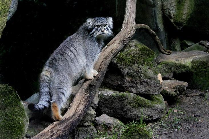http://www.animalsglobe.ru/wp-content/uploads/2012/04/manul-31.jpg