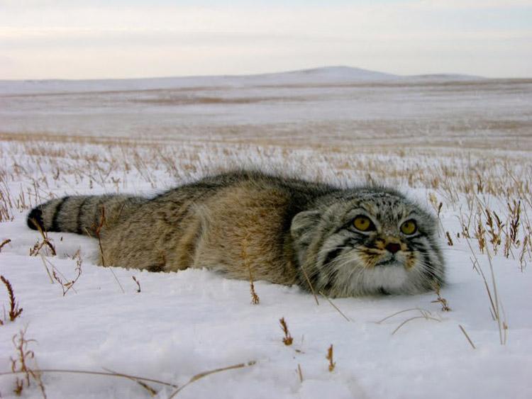 http://www.animalsglobe.ru/wp-content/uploads/2012/04/manul1.jpg