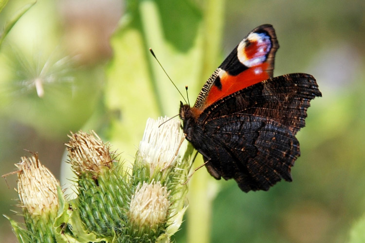дневной павлиний глаз фото бабочка