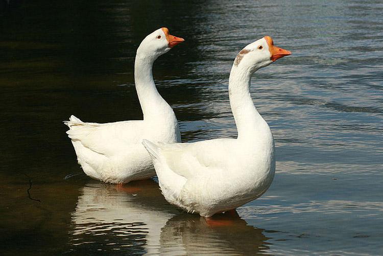 Домашние гуси - выгодная птица для фермеров