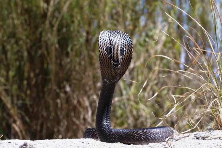 фото змеи кобра