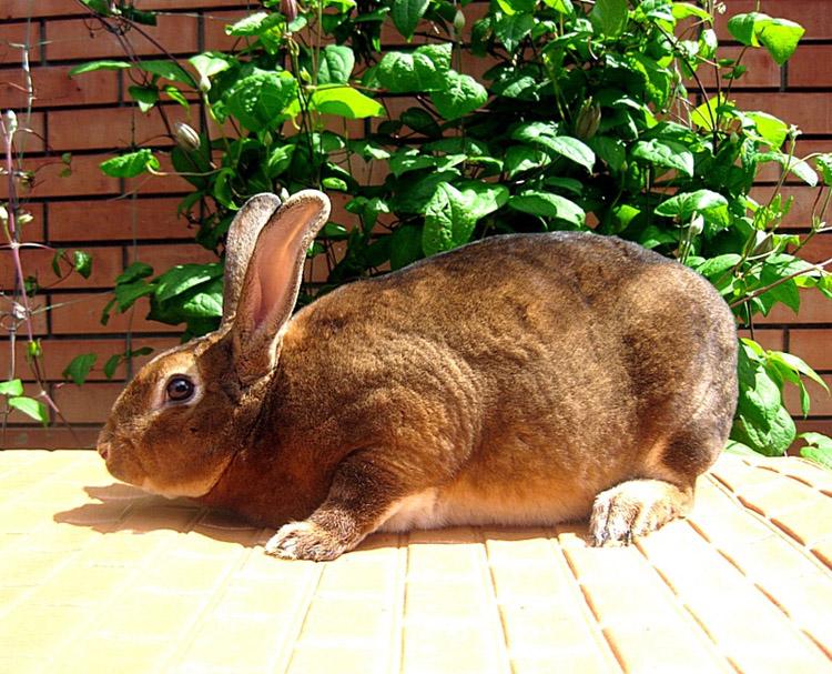 Домашние кролики: мясные, шкурковые, декоративные