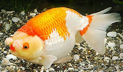 у золотой рыбки опущен верхний плавник: