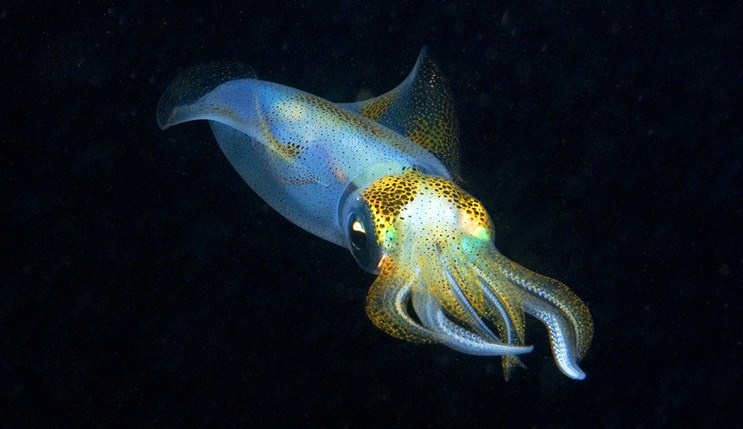 Для развития промысла пелагических кальмаров есть возможности