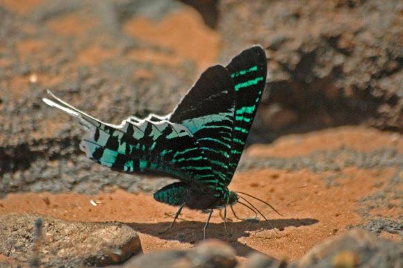В состоянии покоя урании всегда держат крылья сложенными.