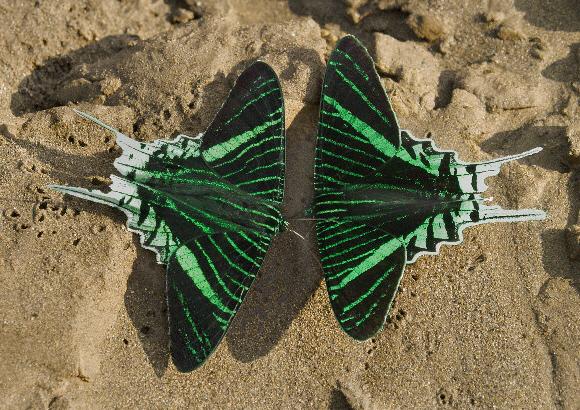 Зеленополосые урании (Urania leilus).