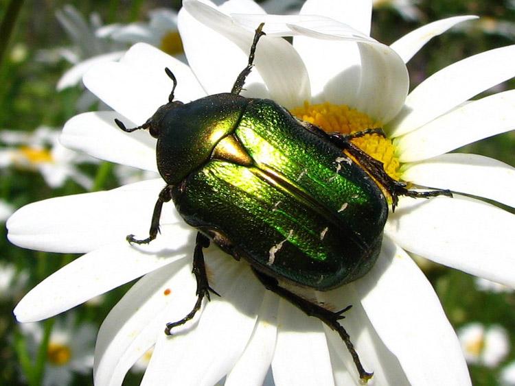 фото жук бронзовка