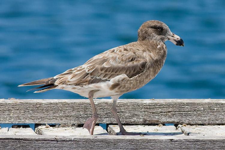 фото черноморская чайка