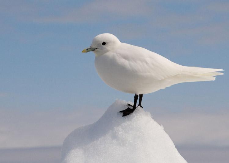 белая чайка слоновой кости цвет Карское море заповедник