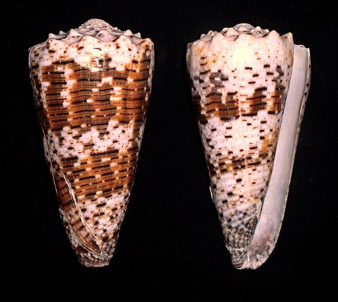 Соски женские фото конусной формы 20 фотография